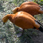Ruddy Shelduck or Brahminy Duck (Tadorna ferruginea) — Stock Photo #41637455