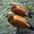 Ruddy Shelduck or Brahminy Duck (Tadorna ferruginea) — Stock Photo