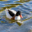 Common Shelduck (Tadorna tadorna) — Stock Photo