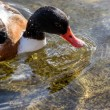 Common Shelduck (Tadorna tadorna) — Stock Photo #41637951