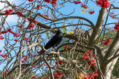 Crow (Corvus) in a Rowan Tree — Stock Photo