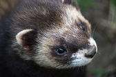 Close-up shot of an European Polecat (mustela putorius) — Stock Photo
