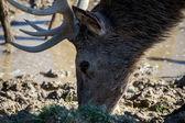Red Deer (cervus elaphus) — Stock Photo