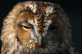 Tawny Owl (Strix aluco) — Stock Photo