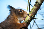 Eurasian red squirrel (sciurus vulgaris) — Stock fotografie
