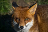 Red Fox (Vulpes vulpes) — Stock Photo