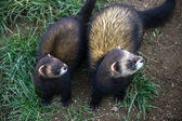 European Polecat (mustela putorius) — Stock Photo