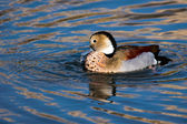 Ringed Teal (Callonetta leucophrys) — Photo