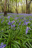 Sussex Bluebells — Stock Photo