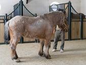 Percheron picadors horse in a stable on a farm near Ronda — Stock Photo