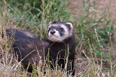 Polecat-coloured Ferret — Stock Photo