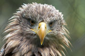 White-tailed Sea Eagle (Haliaeetus albicilla) — Stock Photo