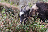 Wild Goat (Capra aegagrus) — Stock Photo