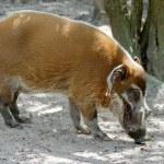 Red River Hog (Potamochoerus porcus) — Stock Photo #50803691
