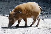 Red River Hog (Potamochoerus porcus) — Stock Photo