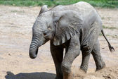 African Elephant (Loxodonta) — Stock Photo