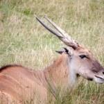 Common Eland (Taurotragus oryx) — Stock Photo #51388315