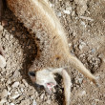 Meerkat or Suricate (Suricata suricatta) — Stock Photo #51388559