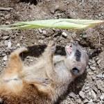 Meerkat or Suricate (Suricata suricatta) — Stock Photo #51388689