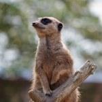 Meerkat or Suricate (Suricata suricatta) — Stock Photo #51388743