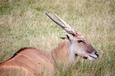 Common Eland (Taurotragus oryx) — Stock Photo