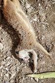 Meerkat ou suricate (suricata suricatta) — Photo