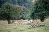 Red Lechwe Antelope (Kobus leche) — Stock Photo