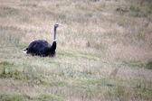 Common Ostrich (Struthio camelus) — Stockfoto