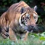 Siberian Tiger (Panthera tigris altaica) — Stock Photo #51390651