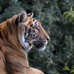 Siberian Tiger (Panthera tigris altaica) — Stock Photo #51390685