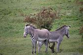 Grevy's Zebra (Equus grevyi) — Stockfoto