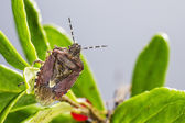 The dock bug (Coreus marginatus) — Stock Photo