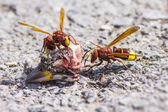The Oriental hornet Vespa orientalis — Photo