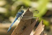 The black-tailed skimmer (Orthetrum cancellatum) — Stock Photo
