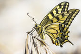 Western Tiger Swallowtail (Papilio rutulus) — Stock Photo