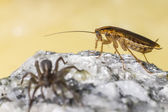 The german cockroach and ground wolf-spider — Stock Photo