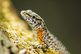 Portrait of a Lizard — Stock Photo