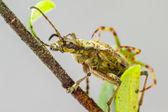 The blackspotted pliers support beetle (Rhagium mordax) — Stock Photo