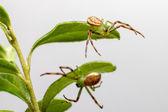 The Green Crab Spider (Diaea dorsata) — Stock Photo