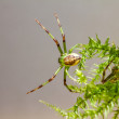 Постер, плакат: The Green Crab Spider Diaea dorsata