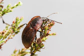 Portrait of a beetle — Stock Photo