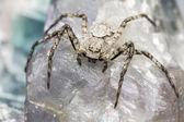 The Lichen Running Spider (Philodromus margaritatus) — Stock Photo