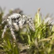 Portrait of a Zebra Spider (Salticus scenicus) — Stock Photo