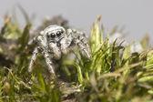 斑马蜘蛛 (salticus scenicus 的肖像) — 图库照片