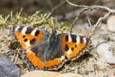 The Compton Tortoiseshell (Nymphalis vaualbum) — Stock Photo