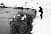 Feeding of swans — Stock Photo