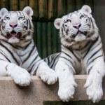 Постер, плакат: White tigers