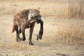 Hyena — Stok fotoğraf