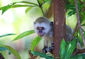Velvet monkey baby — Stock Photo