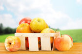 Fresh and colorful apples in basket — Stock Photo